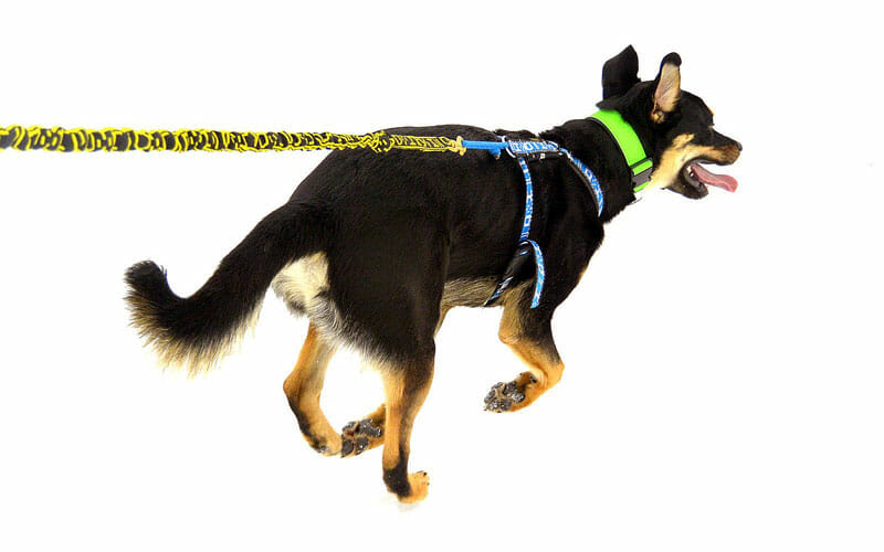 Gangline and harness for skijoring with your dog
