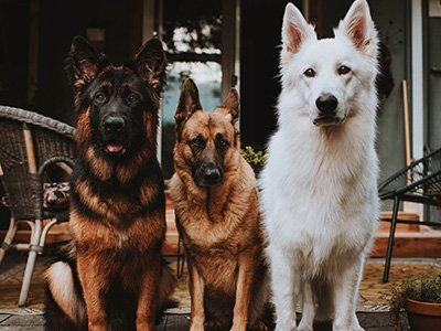 Nancy and Jim Duccini's dogs, Jade, Bowie and Silas